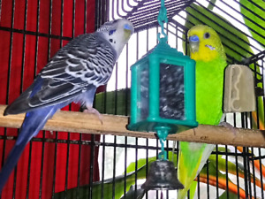 Two happy healthy budgies