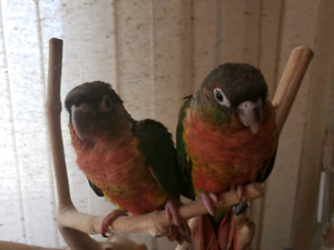 Friendly/Tame conure babies