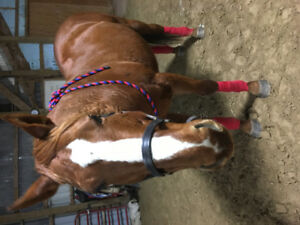 LOVELY 15 yr old gelding, sound and sane