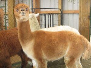 Thinking about raising alpacas? Cambridge Kitchener Area image 9