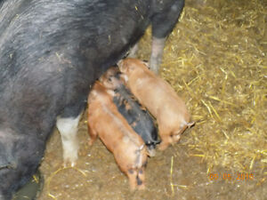 Weanling to BBQ sized piglets