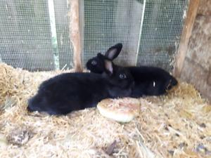 Dwarf rabbits for sale (female)