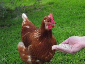 Laying Hens (Point of Lay) - Chickens Sunshine Coast Yandina Maroochydore Area Preview