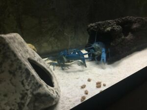 ELECTRIC BLUE LOBSTERS BABIES & ALSO BREEDING PAIRS