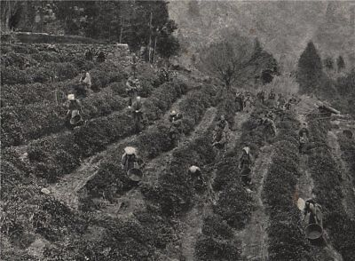 KOBE. A tea plantation outside the town. Japan 1895 old antique print picture