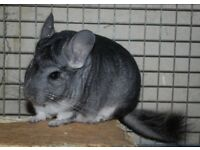 2 Male Chinchillas to go to good home.