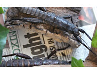 Two giant stick insects FREE TO GOOD HOME