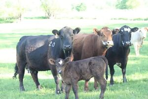 Local Farmer, Grass Fed Beef, Pastured Pork, Heritage Chicken, Kitchener / Waterloo Kitchener Area image 9