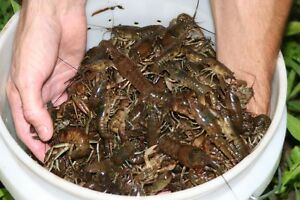 How to catch and cook Crawfish