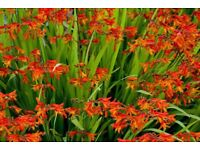 Croccosmia perennials plants