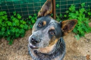 """Blue"" Blue Heeler - Available for Adoption Gawler Gawler Area Preview"