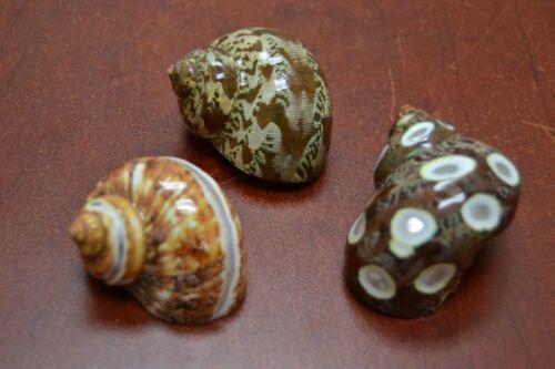 "3 PCS BROWN PETHOLATUS JADE TURBO SEA SHELL HERMIT CRAB 2"" - 2 1/2"" #7334/5/6"
