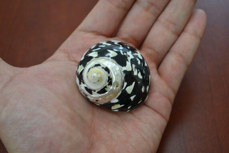 """BLACK CYPREA PICA TURBO SEA SHELL HERMIT CRAB 1 1/2"""" - 2"""" #7329"""