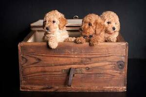 Cavoodle Toy Puppies Tamworth Tamworth City Preview