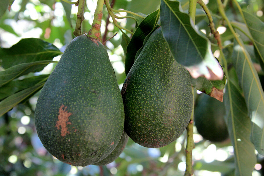 Images of Dwarf Avocado Tree Home Depot - #rock-cafe