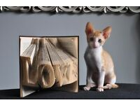 Beautiful Cornish Rex Kittens For Sale