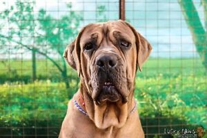 """Blossum"" Mastiff Mix - Available for Adoption Gawler Gawler Area Preview"