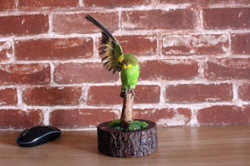 Taxidermy bird green parakeet half wing spread,home deco gift  free P&P to US