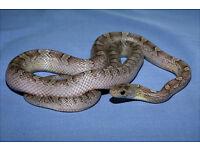 Granite Corn Snake For Sale
