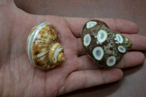 2 PCS BROWN SPOTTED & BANDED PETHOLATUS JADE SHELL HERMIT CRAB #7334/5
