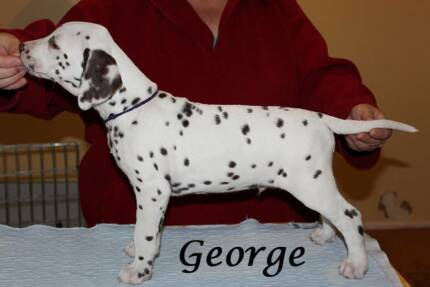 Dalmatian Puppies Wanniassa Tuggeranong Preview