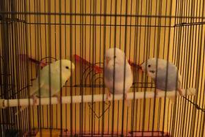 Baby Budgies just out of the nest. Males and Females Stunning Pelaw Main Cessnock Area Preview