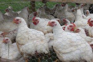Local Farmer, Grass Fed Beef, Pastured Pork, Heritage Chicken, Kitchener / Waterloo Kitchener Area image 3
