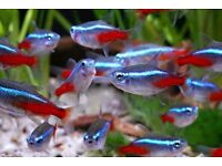 Tropical Fish Pack 1 - live tropical fish