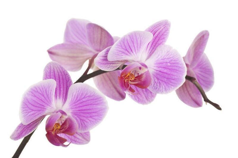 orchidee lila ebay. Black Bedroom Furniture Sets. Home Design Ideas