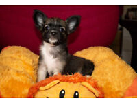 READY NOW ONE PEDIGREE LONG HAIR CHIHUAHUA FEMALE PUPPY