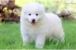 Looking for a Samoyed puppy