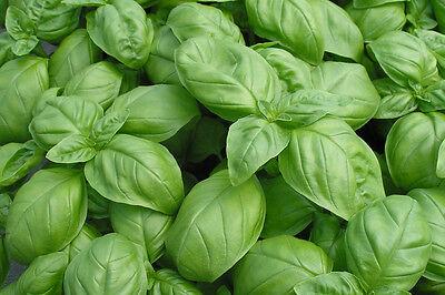 Genovese Seeds (ORGANIC HERB  BASIL GENOVESE  1200 SEEDS  **FREE UK P&P**)