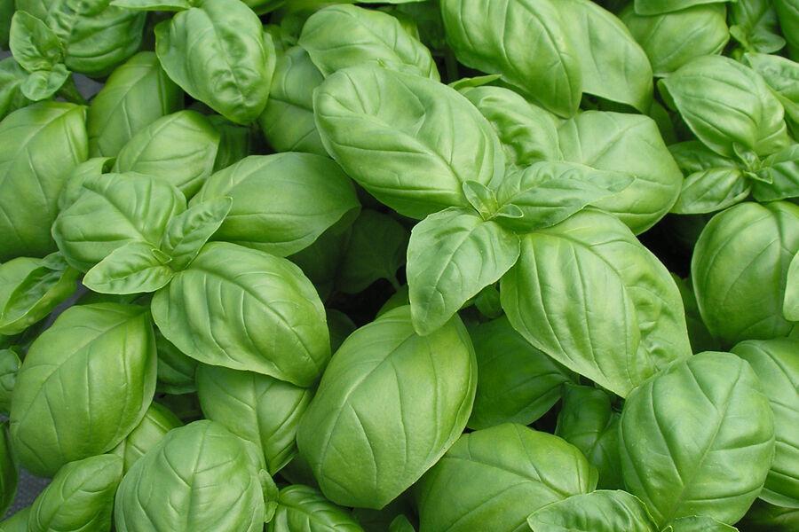 Suffolk Herbes-Herb Basilic-British Graines