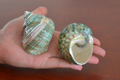 """2 PCS GREEN BANDED PEARL TURBO SHELL HERMIT CRAB 2 1/2"""" - 3"""" #7068"""