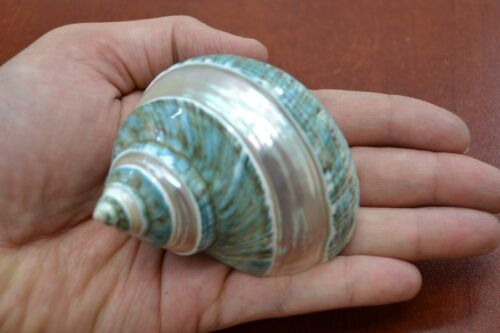 """GREEN BANDED PEARL TURBO SHELL HERMIT CRAB 3"""" - 3 1/2"""" #7069"""