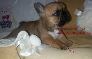 French bulldog male puppies. Perth Perth City Area Preview