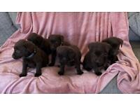Beautiful Labradour puppies