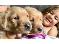 Kc reg fox red labrador puppies health tested