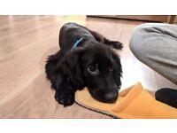 Gorgeous black Sprocker Spaniel puppy for sale