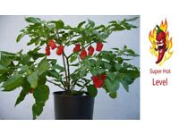 2x Super Hot Chili Plants - Scotch Bonnet - Windowsill easy growing all year round chilies