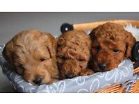 Beautiful Maltipoo Puppies