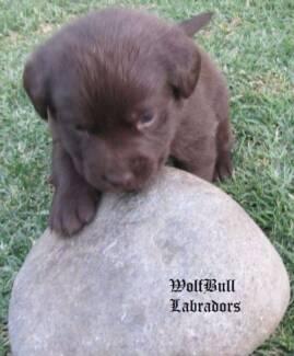 Labrador Retriever Puppies For Sale - Liver Brown (Chocolate) Sydney City Inner Sydney Preview
