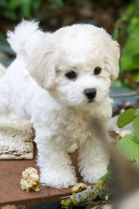 Wanted a white or mostly white puppy
