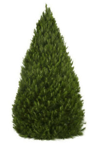 Christmas Trees, We Deliver! London Ontario image 1