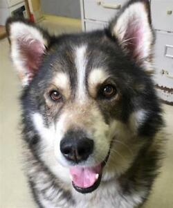 "Senior Male Dog - Alaskan Malamute-Husky: ""Brad"""