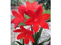 Cyrtanthus elatus (Vallota speciosa) Scarborough Lily