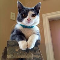 To a Loving Home- Cuddly Indoor Neutered Cat