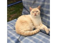 Cream colour point British Shorthair For Rehome.