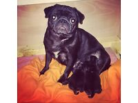 KC pedigree black boy pug