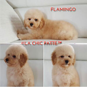 MAGNIFIQUE CHIOTS CANICHES TOY /  TINY TOY POODLE PUPPIES